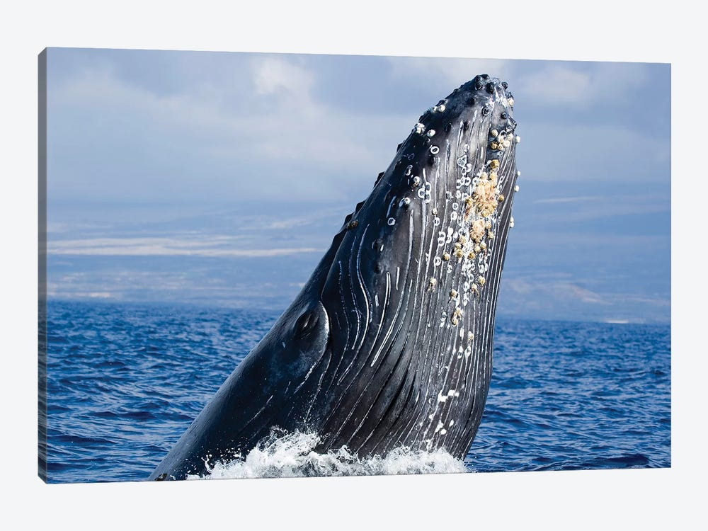 Breaching Humpback Whale, Megaptera Novaeangliae, Hawaii II by VWPics 1-piece Canvas Artwork