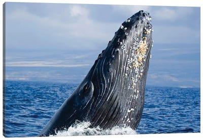 Breaching Humpback Whale, Megaptera Novaeangliae, Hawaii II Canvas Art Print
