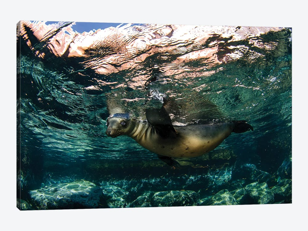 California Sea Lion Playing At Surface Near La Paz, Baja California Sur I by VWPics 1-piece Canvas Print