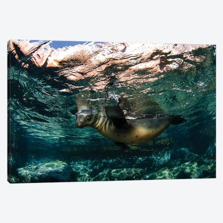 California Sea Lion Playing At Surface Near La Paz, Baja California Sur I 3-Piece Canvas #TRK2169} by VWPics Art Print