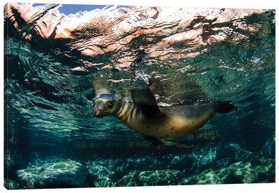 California Sea Lion Playing At Surface Near La Paz, Baja California Sur I Canvas Art Print