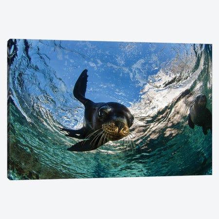 California Sea Lion Playing At Surface Near La Paz, Baja California Sur II 3-Piece Canvas #TRK2170} by VWPics Canvas Wall Art