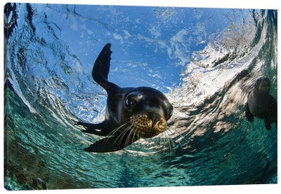 California Sea Lion Playing At Surface Near La Paz, Baja California Sur II Canvas Art Print