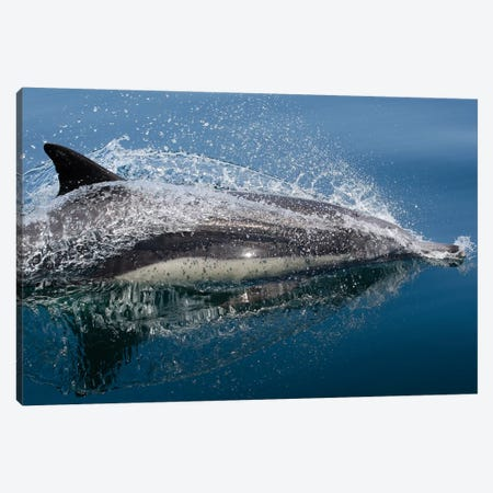 Common Dolphin (Delphinus Delphis) Jumping Out Of The Water Canvas Print #TRK2171} by VWPics Canvas Artwork