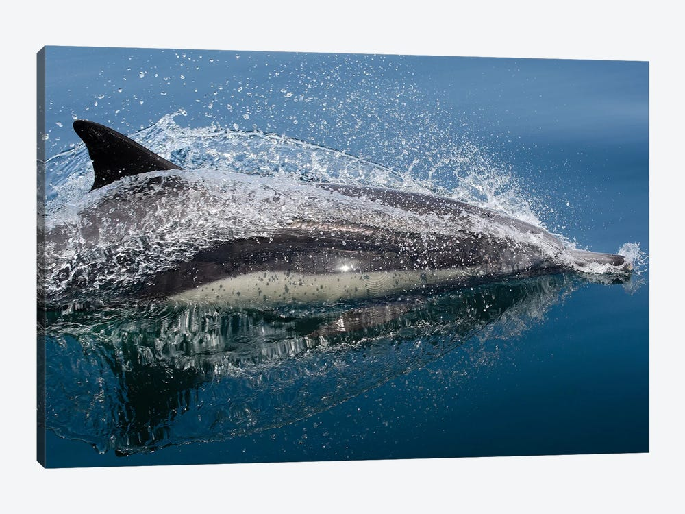 Common Dolphin (Delphinus Delphis) Jumping Out Of The Water by VWPics 1-piece Canvas Artwork