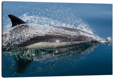 Common Dolphin (Delphinus Delphis) Jumping Out Of The Water Canvas Art Print