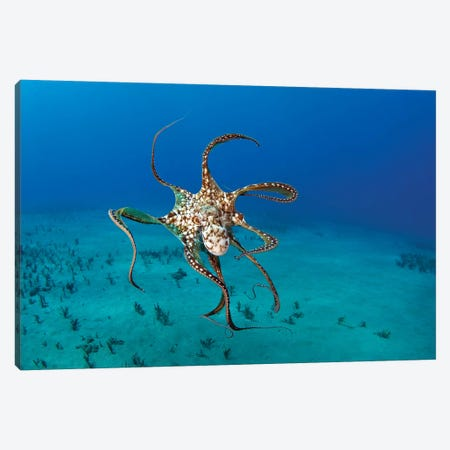 Day Octopus (Octopus Cyanea), Hawaii Canvas Print #TRK2174} by VWPics Canvas Print