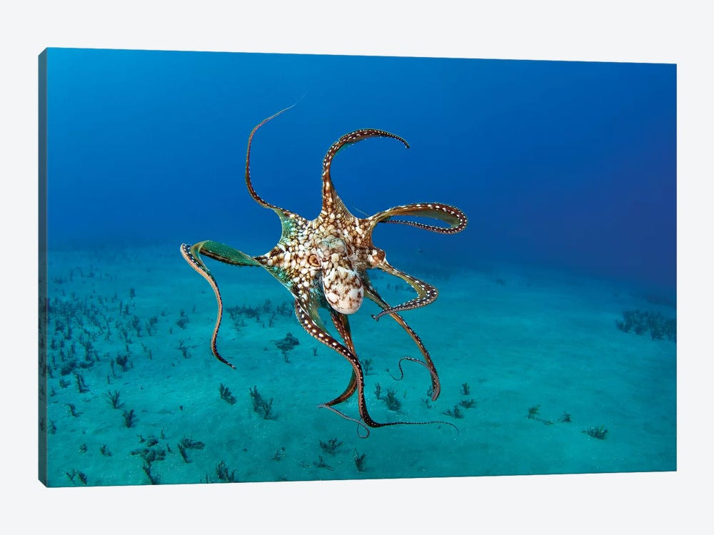 Day Octopus (Octopus Cyanea), Hawaii 1-piece Art Print