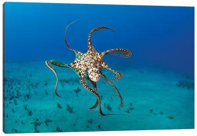 Day Octopus (Octopus Cyanea), Hawaii Canvas Art Print