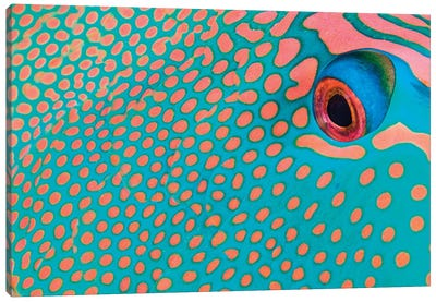 Extreme Close-Up Of The Pattern On A Bicolor Parrotfish, Indonesia Canvas Art Print