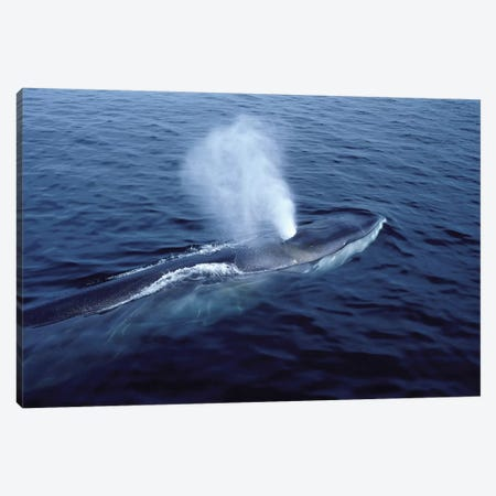 Fin Whale In The Gulf Of Maine, North Atlantic Ocean Canvas Print #TRK2179} by VWPics Canvas Wall Art