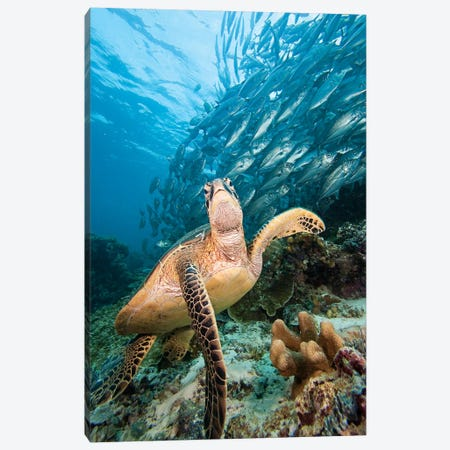Green Sea Turtle And Schooling Bigeye Jacks, Sipadan Island, Malaysia Canvas Print #TRK2180} by VWPics Art Print