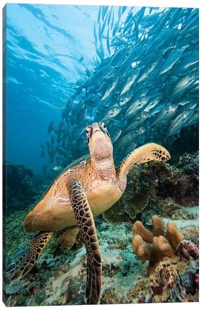 Green Sea Turtle And Schooling Bigeye Jacks, Sipadan Island, Malaysia Canvas Art Print