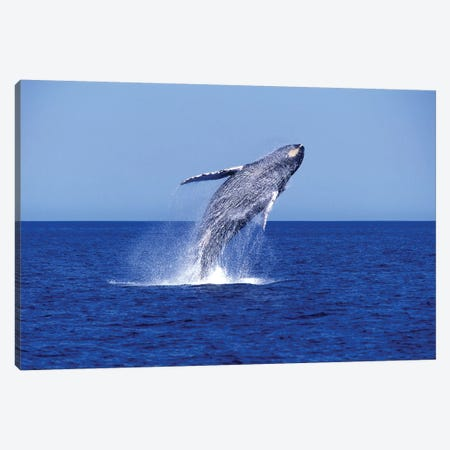 Humpback Whale Breaching In The Lower Gulf Of California, Mexico Canvas Print #TRK2181} by VWPics Canvas Art Print