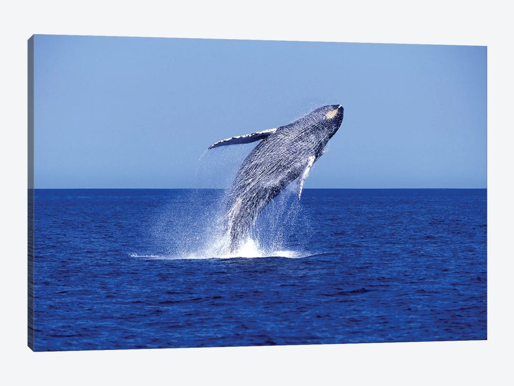 Humpback Whale Breaching In The Lower Gulf Of California, Mexico by VWPics 1-piece Canvas Print