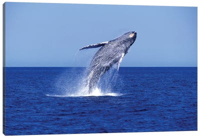 Humpback Whale Breaching In The Lower Gulf Of California, Mexico Canvas Art Print