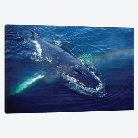 Humpback Whale Resting In The Gulf Of Maine, Atlantic Ocean Canvas Print #TRK2182} by VWPics Canvas Art Print