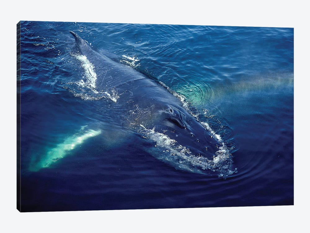 Humpback Whale Resting In The Gulf Of Maine, Atlantic Ocean by VWPics 1-piece Canvas Wall Art