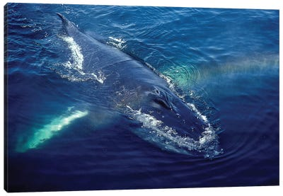 Humpback Whale Resting In The Gulf Of Maine, Atlantic Ocean Canvas Art Print