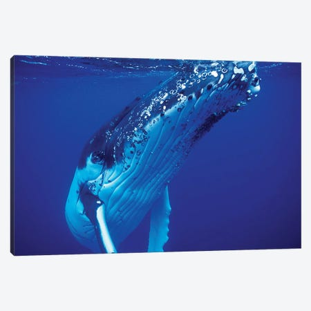 Humpback Whale, Tonga Islands, South Pacific Canvas Print #TRK2184} by VWPics Canvas Art