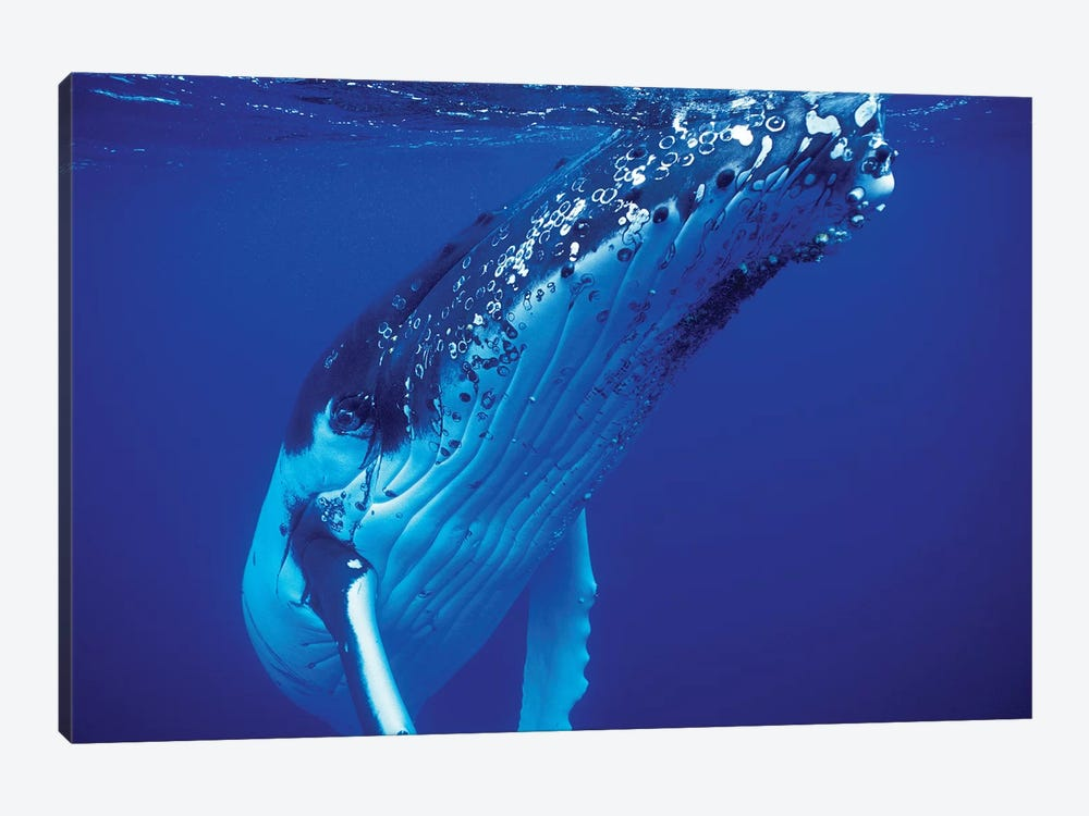Humpback Whale, Tonga Islands, South Pacific 1-piece Canvas Wall Art