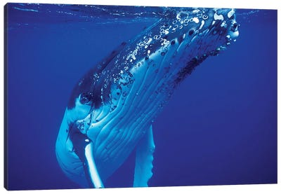 Humpback Whale, Tonga Islands, South Pacific Canvas Art Print
