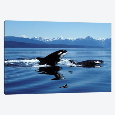 Killer Whales Breaching In Icy Strait, Southeast Alaska Canvas Print #TRK2186} by VWPics Canvas Wall Art