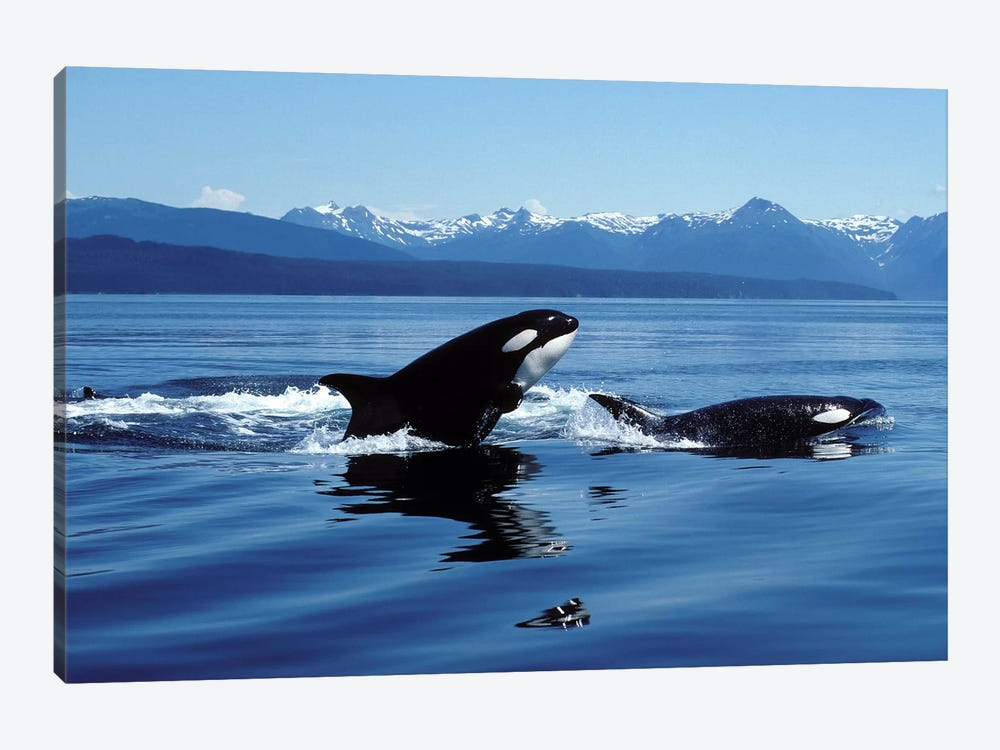 Killer Whales Breaching In Icy Strait, Southeast Alaska 1-piece Canvas Wall Art