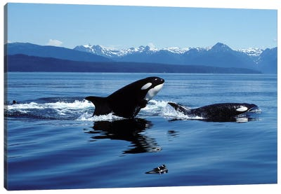 Killer Whales Breaching In Icy Strait, Southeast Alaska Canvas Art Print