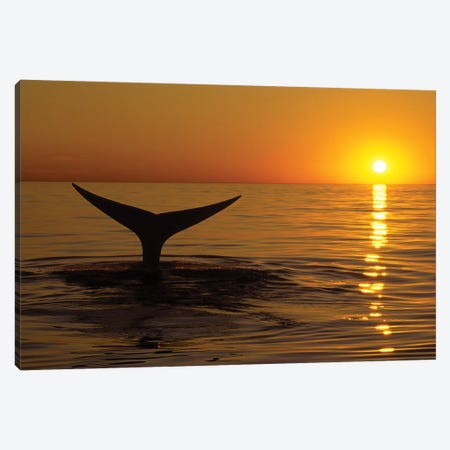 Northern Right Whale At Sunset In The Bay Of Fundy, New Brunswick, Canada Canvas Print #TRK2189} by VWPics Art Print
