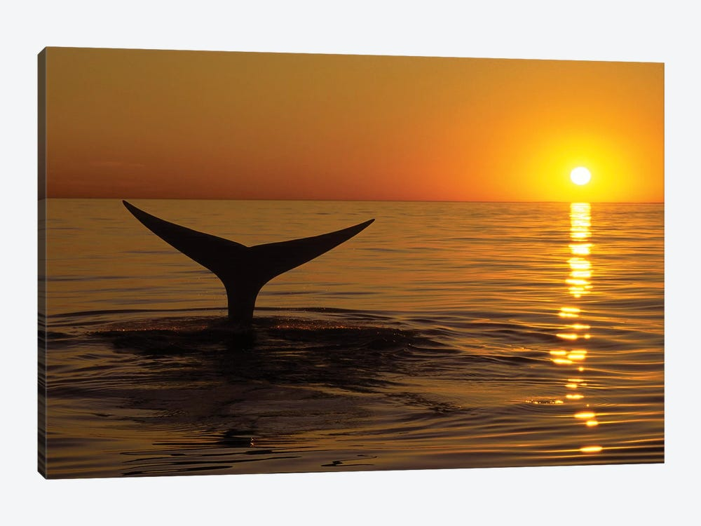 Northern Right Whale At Sunset In The Bay Of Fundy, New Brunswick, Canada by VWPics 1-piece Art Print
