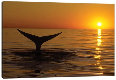 Northern Right Whale At Sunset In The Bay Of Fundy, New Brunswick, Canada Canvas Art Print