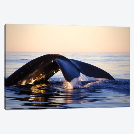 Northern Right Whale, Late Afternoon, Bay Of Fundy, New Brunswick, Canada Canvas Print #TRK2190} by VWPics Canvas Wall Art
