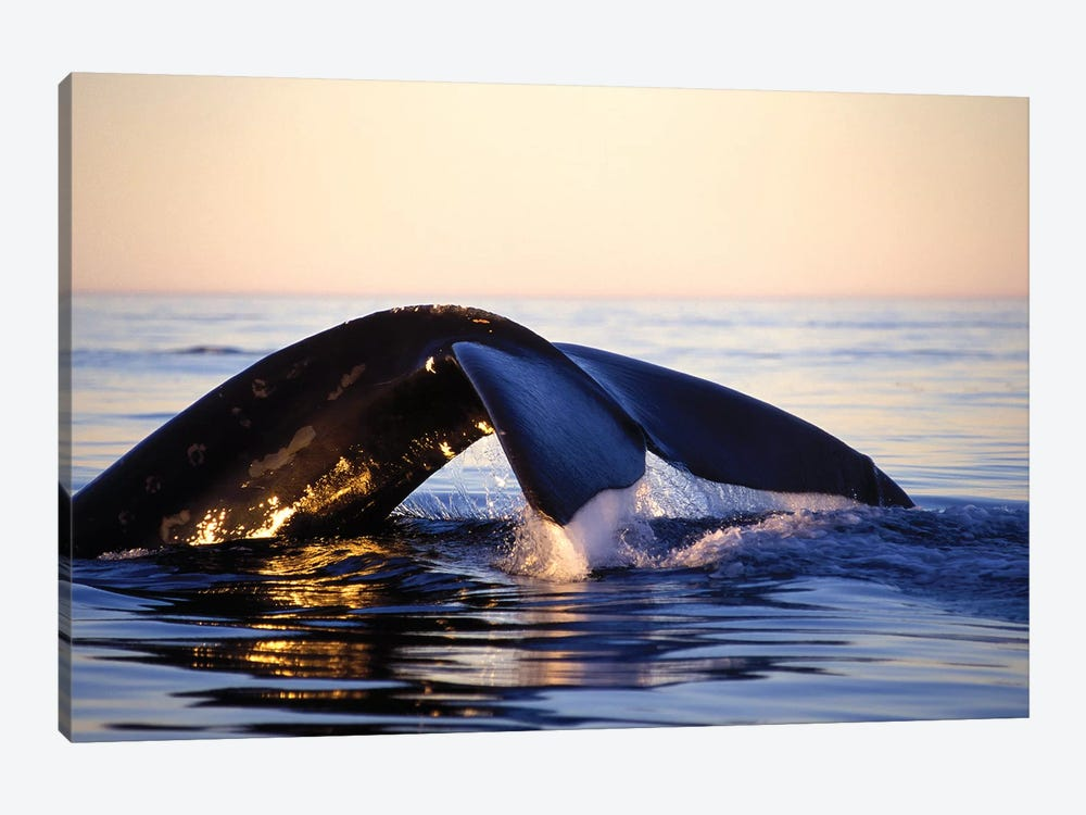 Northern Right Whale, Late Afternoon, Bay Of Fundy, New Brunswick, Canada by VWPics 1-piece Art Print