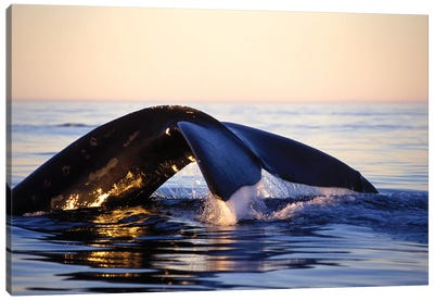 Northern Right Whale, Late Afternoon, Bay Of Fundy, New Brunswick, Canada Canvas Art Print