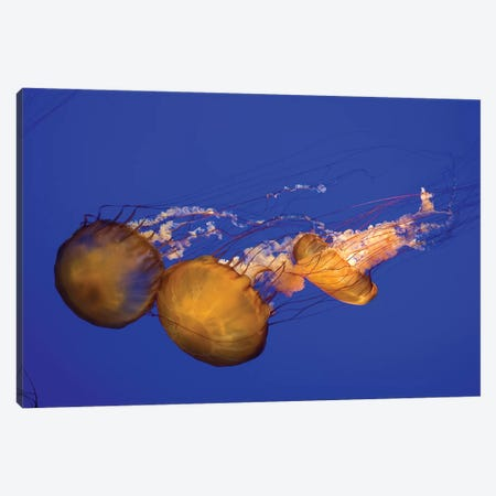 Pacific Sea Nettle (Chrysaora Melanaster) I Canvas Print #TRK2191} by VWPics Canvas Artwork