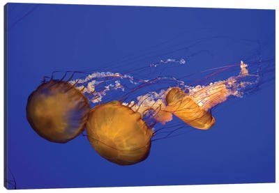 Pacific Sea Nettle (Chrysaora Melanaster) I Canvas Art Print
