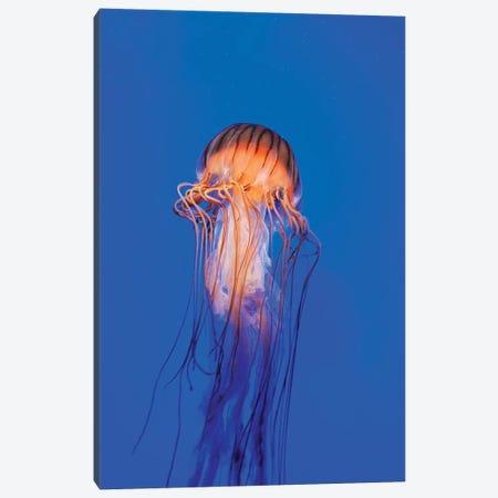 Pacific Sea Nettle (Chrysaora Melanaster) II Canvas Print #TRK2192} by VWPics Canvas Artwork
