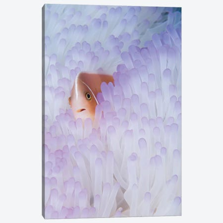 Pink Anemonefish In A Bleached Magnificent Sea Anemone Canvas Print #TRK2193} by VWPics Canvas Wall Art