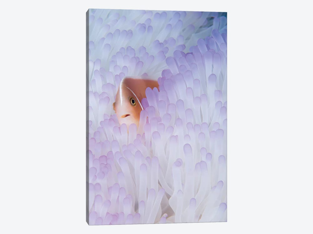 Pink Anemonefish In A Bleached Magnificent Sea Anemone by VWPics 1-piece Canvas Art