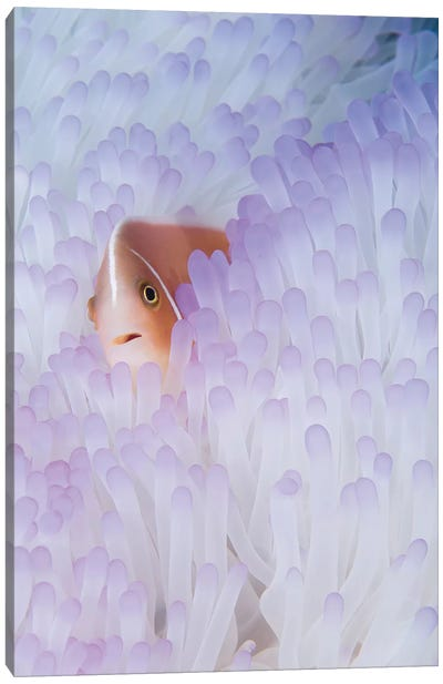 Pink Anemonefish In A Bleached Magnificent Sea Anemone Canvas Art Print