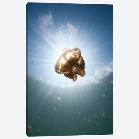 Sunrays Illuminate A Jellyfish, Kakaban Island, Indonesia Canvas Print #TRK2199} by VWPics Canvas Art