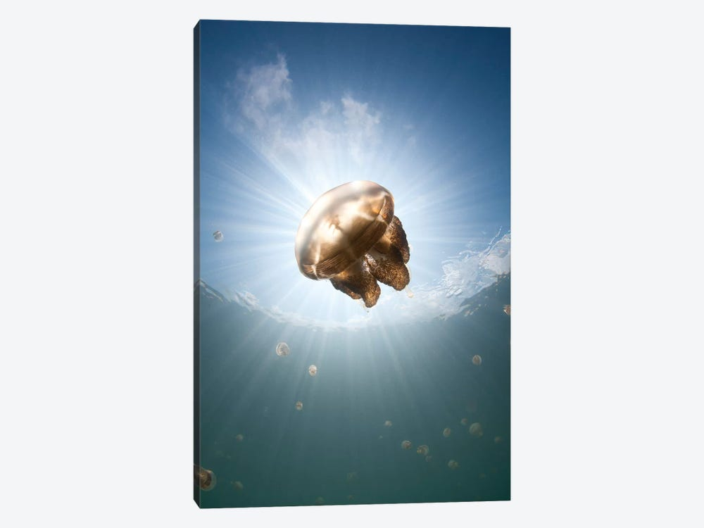 Sunrays Illuminate A Jellyfish, Kakaban Island, Indonesia by VWPics 1-piece Canvas Artwork