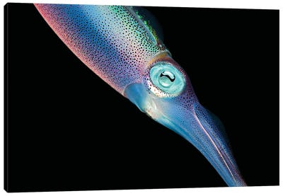 The Caribbean Reef Squid In Shallow Near Shore Water Of The Caribbean Canvas Art Print