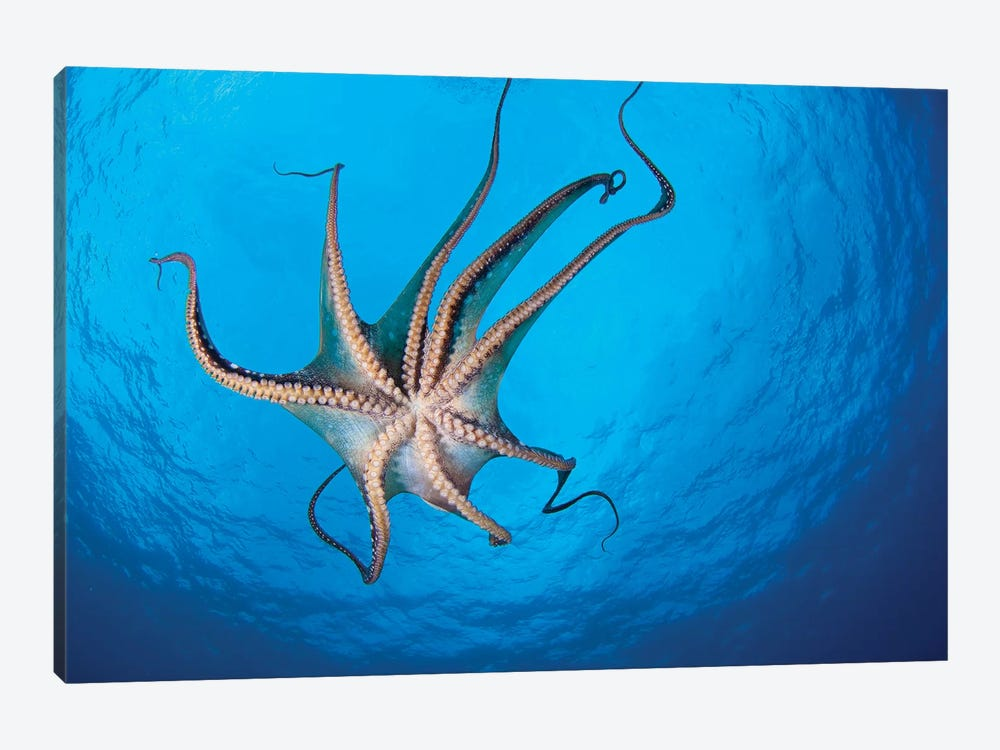 View Of The Tentacle Suckers On The Day Octopus (Octopus Cyanea) II by VWPics 1-piece Canvas Art
