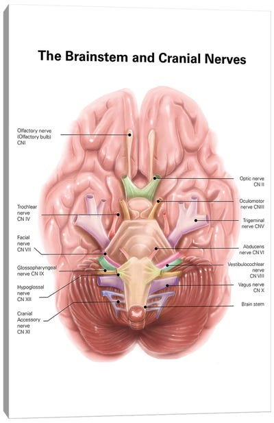 Anatomy Of Human Brain Stem And Cranial Nerves Canvas Art Print