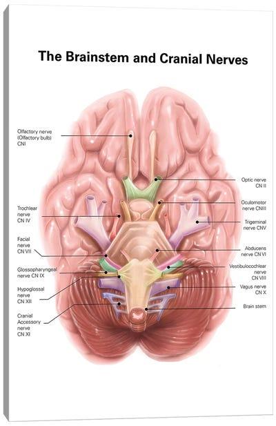 Anatomy Of Human Brain Stem And Cranial Nerves Canvas Art Print