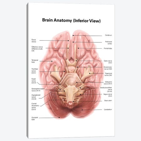 Anatomy Of Human Brain, Inferior View Canvas Print #TRK2209} by Alan Gesek Canvas Artwork