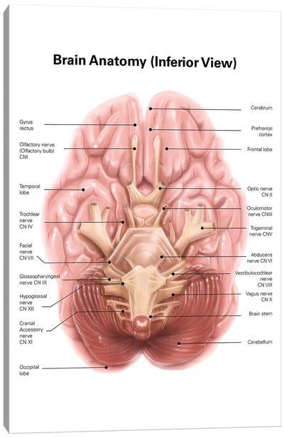 Anatomy Of Human Brain, Inferior View Canvas Art Print
