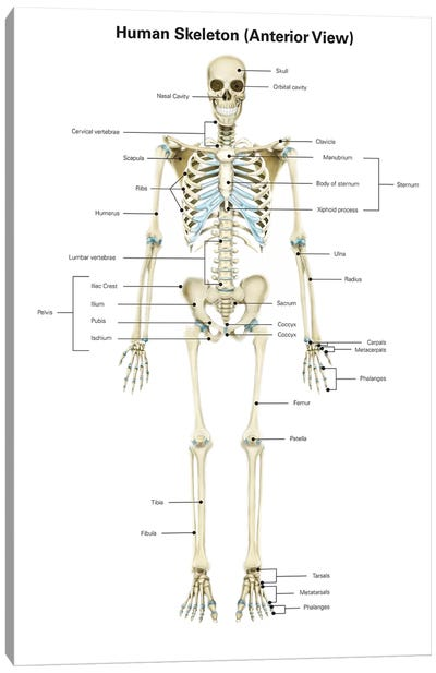 Anterior View Of Human Skeletal System, With Labels Canvas Art Print